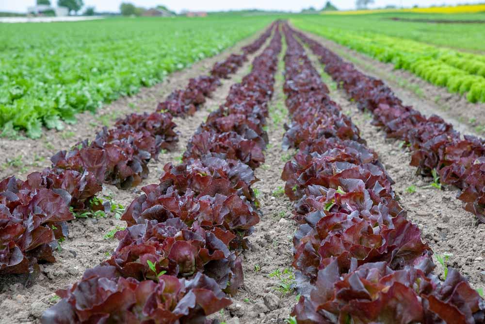 Salatfeld Kugelmann bei Kandel